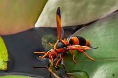 Hornet/Potter Wasp (strictfunctor) Tags: australianhornet hymenoptera insecta masonwasp potterwasp vespida wasp insect queensland australia au