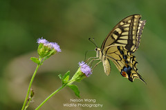Old World Swallowtail (Papilio machaon) 金鳳蝶 (Nelson Wong Wildlife) Tags: old world swallowtail papilio machaon 金鳳蝶 butterfly insect animal wildlife nature nectaring south china nanling sony a7 oldworldswallowtail papiliomachaon nanlingnationalforestpark coth coth5