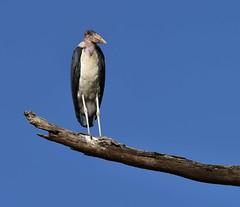 Marabou Stork (orientalizing) Tags: nairobi creatures kenya nairobinationalpark maraboustork birds