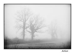 The old wise trees B&W (Artico7) Tags: trees fog white silouette bw blackwhite blackandwhite biancoenero monochrome digital fuji xe1 mist winter foggy nebbia alberi cold spectrum gloomy lugubrious