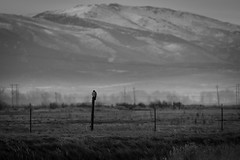 man the post (Aaron_Smith_Wolfe_Photography) Tags: hawk cooper post rural farmland carsonvalley genoa minden gardnerville sierranevada birdofprey nikon d850 200500