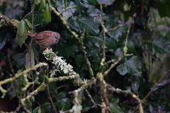 accenteur Mouchet (massongoulven) Tags: oiseau bird jardin bretagne