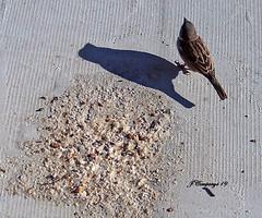 7PTDC0867 (Pep Companyó - Barraló) Tags: ocells pajaros aves aus ornitologia animals fauna natura puigreig bergueda barcelona catalunya josep companyo barralo