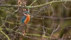 female kingfisher side glance... (petegatehouse) Tags: kingfisher bird smallbird tree perched sizeglance colour blue orange aqua