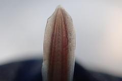 Juvenile Lamprey Tail