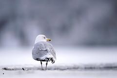 Lötsjön - Januari 2019 (Hamza Küçükgöl) Tags: wwwhkfoto82wixcomhkfoto hkfoto hamza hamzakucukgöl hkcine hamzakucukgol hamzaküçükgöl kücükgöl k kucukgöl kucukgol küçükgöl skog natur nature wild wildlife winter vatten vinter bokeh lötsjö sverige stockholm sweden sony sjö a9 sonya9 400f28 400mmf28 400mmf28fl 400gmaster birds fullframe ff fåglar