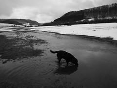 Labrador im Glück (shortscale) Tags: labrador hund bruno pfütze schnee wasser see schmelzwasser schneeschmelze tauwetter schwäbischealb schwarzweiss blackandwhite noiretblanc monochrome
