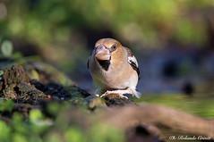 Frosone _002 (Rolando CRINITI) Tags: frosone uccelli uccello birds ornitologia avifauna castellettomerli natura