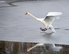 Winter in Mittelsachsen (peterphot) Tags: schwan sachsen waterbirds leica winter19 eis ice