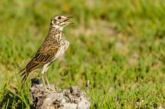 Sing, sing, sing.... (lyn.f) Tags: duskylark pinarocorysnigricans maun botswana birdsofbotswana