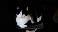 the sister / partner in crime (MobyRichard) Tags: cat portrait kat poes lola pentaxsmc50mmf17 fujixt1 fujifilm
