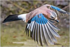 Ghiandaia (Fausto Deseri) Tags: jay garrulusglandarius ghiandaia wildlife nature birds wildanimals nikond500 afsnikkor300mmf28difedii nikontc17eii faustodeseri