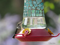 Summer Visitor (acadia_breeze4130) Tags: pennsylvania bird backyardbirds hummingbird rubythroated female feeder nectar summer sx60hs karencarlson outside nature naturephotography wildlife