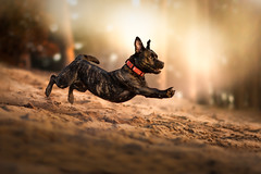 At Play... (Christina Draper) Tags: jaz staffie terrier canine caninephotography running sunset jumping dog