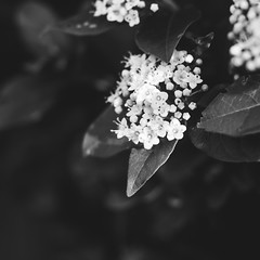 53/365 Blossom (belincs) Tags: oneaday monochrome blossom 365 lincolnshire february bw 2019 uk outdoors 365the2019edition 3652019 day53365 22feb19