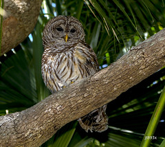 Barred Owl (jt893x) Tags: 150600mm barredowl bird d500 jt893x nikon nikond500 owl raptor sigma sigma150600mmf563dgoshsms strixvaria thesunshinegroup coth alittlebeauty coth5