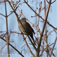 Dunnock (Huddsbirder) Tags: huddsbirder