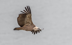 Griffon Vulture (tickspics ) Tags: monfragüenationalpark griffonvulture birds oldworldvultures spain extremadura saltodegitano europe accipitridae eurasiangriffon gypsfulvus parquenacionalmonfragüe