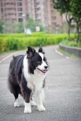 20190214_Coin每日散步 (1) (inmonkey62) Tags: coin border collie bordercollie flying discdog dog 狗 犬 pentax k3 sigma 70300mm f456