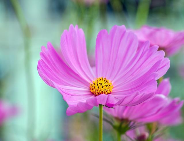 Обои Макро, космея, Macro, Фиолетовый цветок, Purple flower, Kosmeya картинки на рабочий стол, раздел цветы - скачать