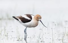 AMERICAN AVOCET (nodakbopa) Tags: bird americanavocet mudlakewmaidaho