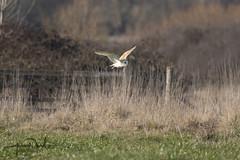 Barn Owl Hunting along Field (AndyNeal) Tags: animal wildlife nature bird birdinflight birdofprey owl barnowl essex essexwildlifetrust naturereserve abbertonreservoir