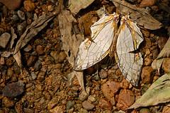 Cyrestis thyodamas ssp. thyodamas - Chiang Dao_20180205_1219_DSC_8286_DxO (I love comments but delete awards - Jan F. Rasmuss) Tags: cyrestinae chiangmai chiangmaiprovince chiang chiangdao nymphalidae nymphalid nymphalids thailand d800 butterfly butterflies macro closeup insecta lepidoptera rhopalocera nikon janfischerrasmussen janfrasmussen asia southeastasia cyrestisthyodamassspthyodamas cyrestis cyrestisthyodamas thyodamas