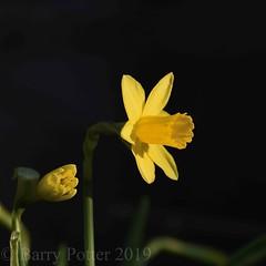 St Davids Daffodil (Barry Potter (EdenMedia)) Tags: barrypotter edenmedia nikon d7200 daffodil