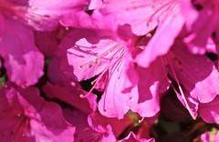 0B6A1597 (Bill Jacomet) Tags: azalea azaleas flower flowers houston tx texas 2019