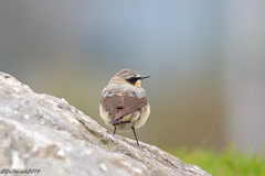 Wheatear (Georgiegirl2015) Tags: wheatear birds dellalackwildlifephotography bbcwalesnature nature canon coastal spring2019 march2019 ef300mm 7dmkii wildlife wales rocks stones migration male avian cardiff cardiffbay