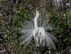 Elegant Egret (ruthpphoto) Tags: bird animal greategret