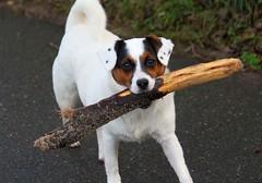 Bring Stöckchen ! (♥ ♥ ♥ flickrsprotte♥ ♥ ♥) Tags: hund stock stöckchen spaziergang strande flickrsprotte canon januar2019