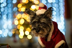 There better be treats in this for me. (one_man's_life) Tags: therebetterbetreatsinthisforme miniatureschnauzer dog christmas bokeh littledoglaughedstories