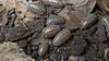 "Armadillidium sp. ""Albania"" (Awavi) Tags: isopod armadillidium ダンゴムシ pillbug"
