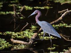 Getting A Leg Up (Doug Scobel) Tags: birdperfect little blue heron egretta caerulea circle b bar reserve wading bird wildlife nature