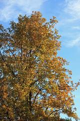 Tall Tree (JB by the Sea) Tags: paloalto stanforduniversity stanford california cantorcenterforvisualarts november2018 tree