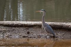 FM5A0317 (Kemp Davis) Tags: wildlife nature aquaticbird greatblueheron