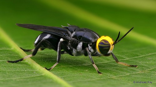 Yellow-headed Soldier Fly, Cyphomyia wiedemanni, Stratiomyidae