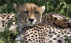 Happy Dotted Caturday (AnyMotion) Tags: cheetah gepard acinonyxjubatus cat katze mother cubs resting portrait porträt porträtaufnahmen 2018 anymotion ndutu ngorongoroconservationarea tanzania tansania africa afrika travel reisen animal animals tiere nature natur wildlife 7d2 canoneos7dmarkii portraitaufnahmen ngc npc