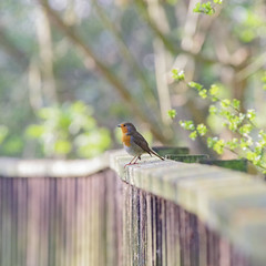 PENNY FOR YOUR THOUGHTS (Paul Wrights Reserved) Tags: robin robins fence fenced leadinglines leading bird birding birds birdwatching bokeh birdphotography atmospheric animal animals nature naturephotography