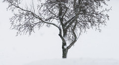 019Jan 05: Tree in Blizzard (Johan Pipet 2M+ views) Tags: flickr tree strom sneh snow winter zima chilly cold detail nature park city bratislava slovakia slovensko eu europe palo bartos bartoš canon g7x markii