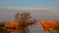 Reed in morning light (BraCom (Bram)) Tags: 169 bracom bramvanbroekhoven dirksland goereeoverflakkee holland nederland netherlands southholland zuidholland boom cloud ditch fog landscape landschap mist morning nevel ochtend polder reed reflection riet sky sloot spiegeling sunrise tree water widescreen wolk zonsopkomst nl goldenhour goudenuurtje bird vogel