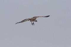 20181009_1697_Etosha_Vautour africain (fstoger) Tags: namibie namibia wildlife safari afrique africa etosha nature viesauvage vautourafricain whitebackedvulture gypsafricanus