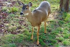 2019-03-13 Columbian Black-tailed Deer (1024x680) (-jon) Tags: anacortes sanjuanpassage skagitcounty skagit washingtonstate fidalgobay salishsea fidalgoisland sanjuanislands pugetsound columbianblacktaileddeer odocoileushemionuscolumbianus a266122photographyproduction sonydsch300 sony h300
