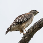 Buteo lineatus (Red-shouldered Hawk)