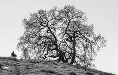 Young and Old (allentimothy1947) Tags: califonia cranecreekregionalpark places santarosa sonomacounty afternoon beautiful bench blue cattle creak grass people sky spring sun trails trees water bw blackandwhite oaktree silhoettes sitting guitar playing relaxing