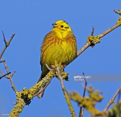 Yellowhammer (Gary Chalker, Thanks for over 4,000,000. views) Tags: yellowhammer finch bird pentax pentaxk3ii k3ii pentaxfa600mmf4edif fa600mmf4edif fa600mm 600mm