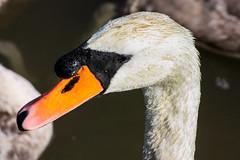 029-1 (Andre56154) Tags: tier animal vogel bird schwan swan wasservogel