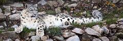 Snow leopard (Cloudtail the Snow Leopard) Tags: schneeleopard tier animal mammal säugetier katze cat feline irbis snow leopard big gros raub beutegreifer panthera uncia snep zoo stadtgarten karlsruhe