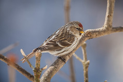 Welcome Spring (jimmy_racoon) Tags: canon 400mm f56l 5d mk2 common redpoll birds nature prime canon400mmf56l canon5dmk2 commonredpoll